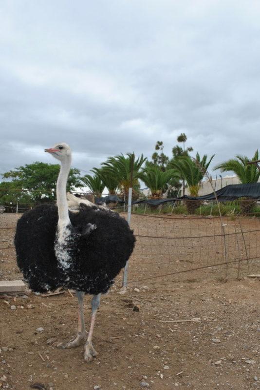 страусиная ферма (Испания)